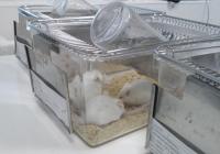Lab mice 1